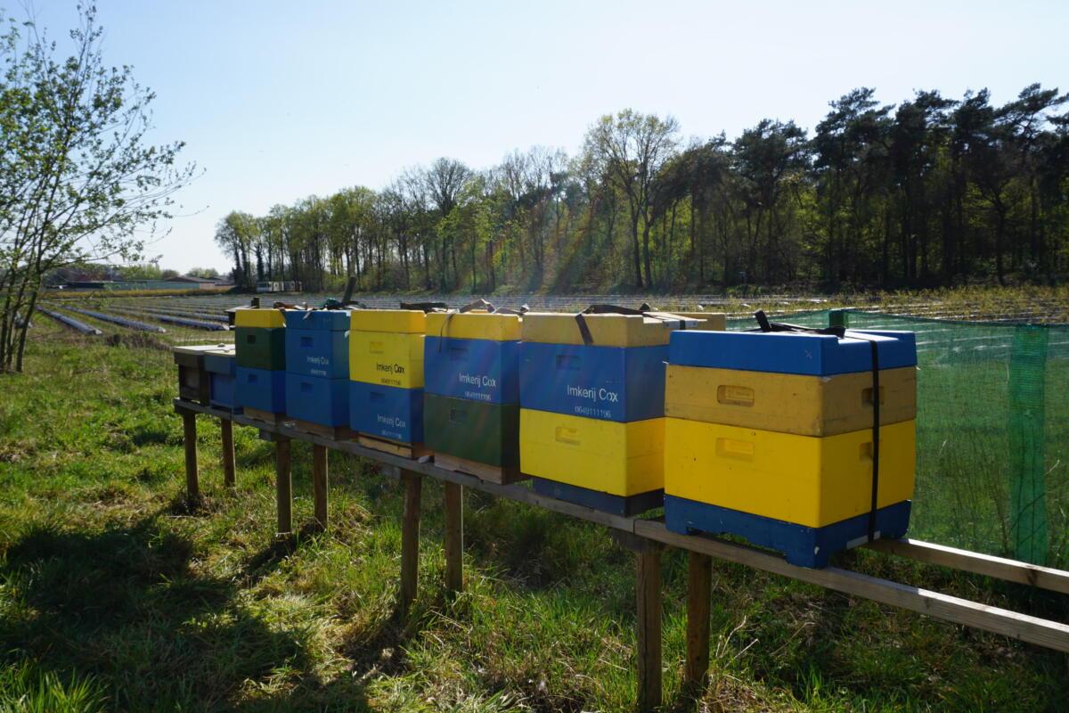Blauwe bes bestuiving - imkerij Cox